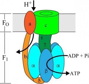 生体内で機能を発現する回転型分子モーター(ATP合成酵素)